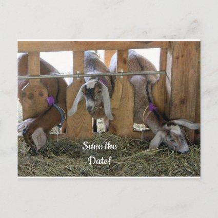Three Goats Save the Date Announcement